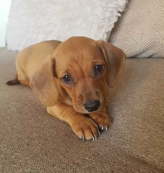 9 REASONS TO ADOPT A DACHSHUND NOW 2