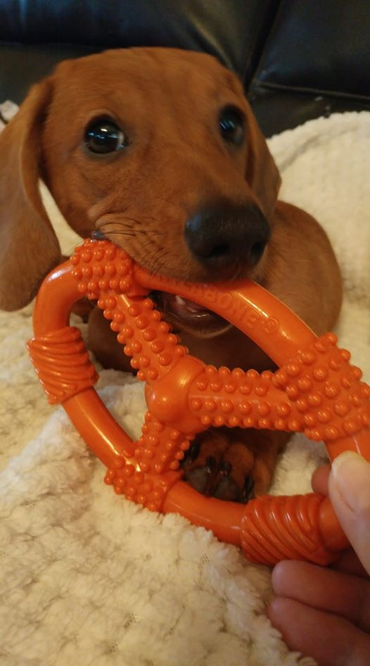 11 Things Dachshund Owners May Not Understand