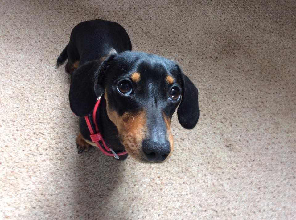 20 Benefits Of Being a Dachshund Owner You Didn't Know 4