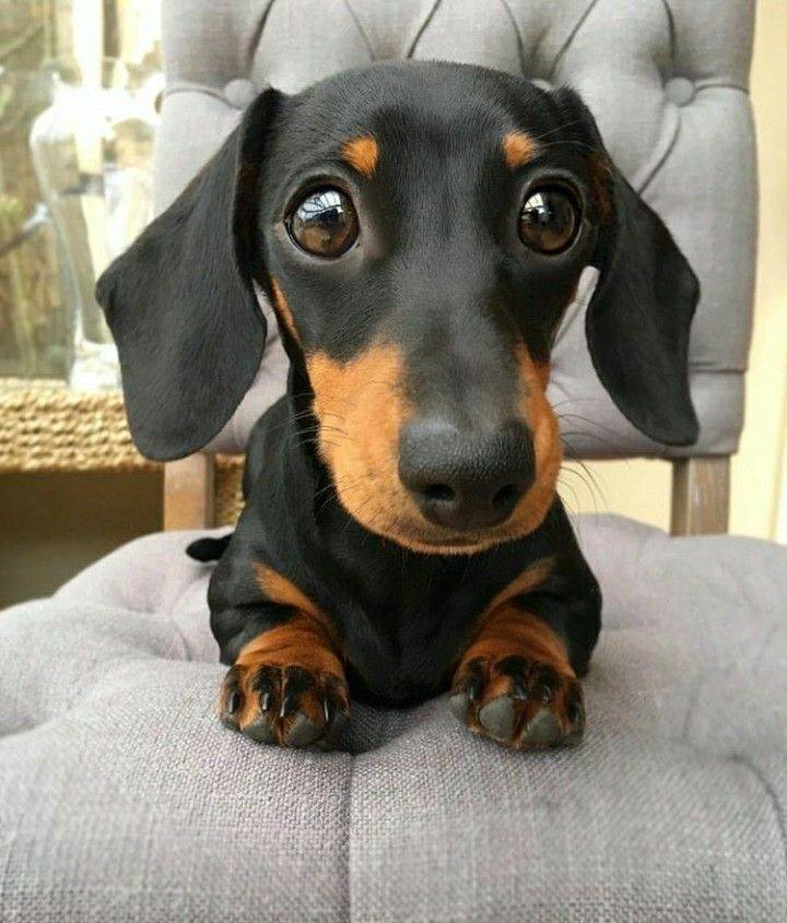 20 Benefits Of Being a Dachshund Owner You Didn't Know 20