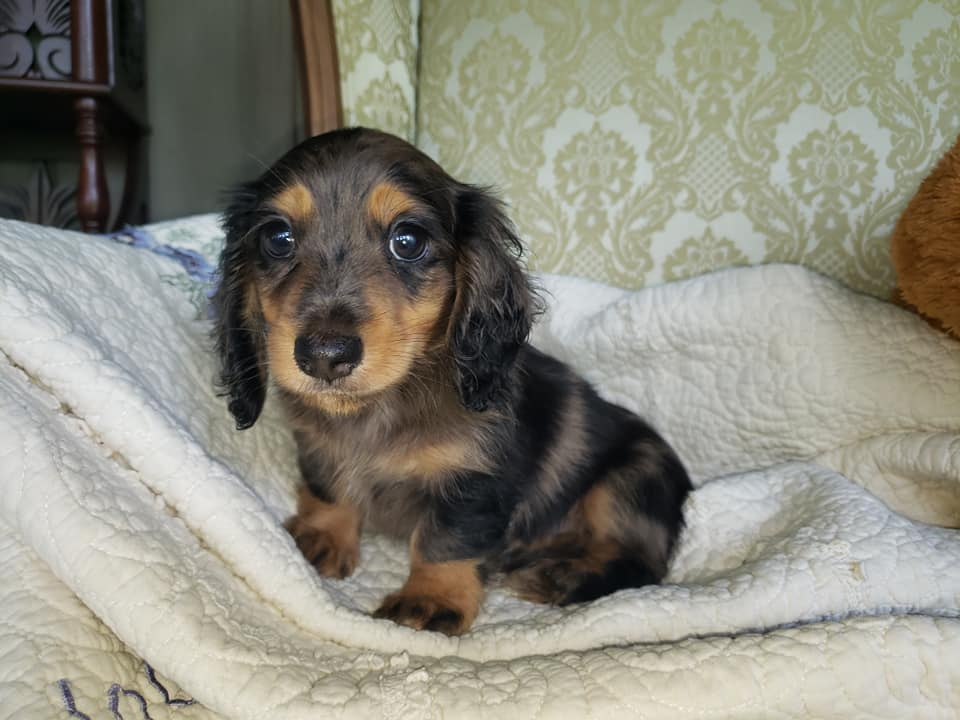 20 Benefits Of Being a Dachshund Owner You Didn't Know 3