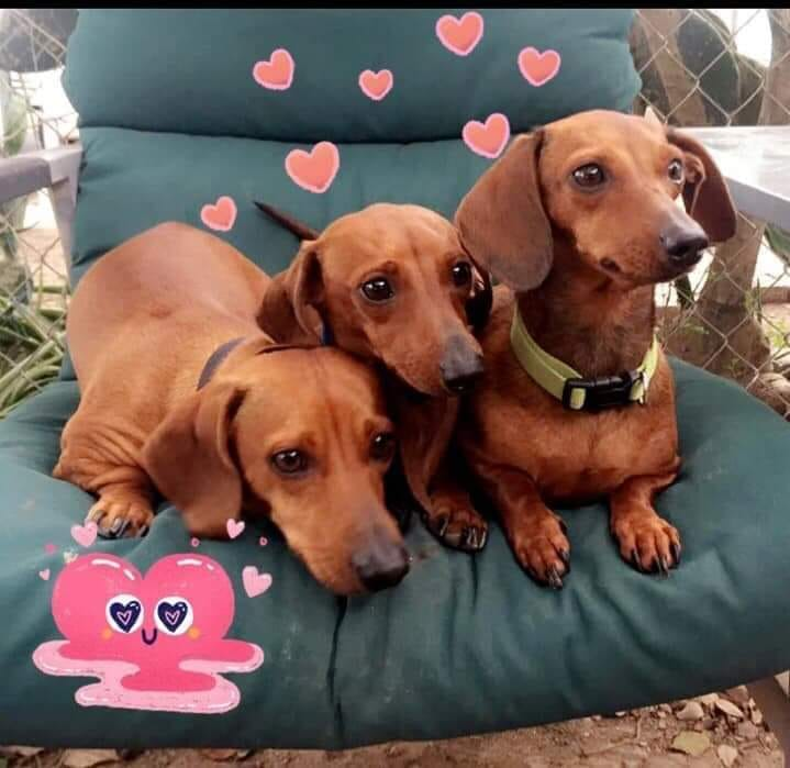 20 Benefits Of Being a Dachshund Owner You Didn't Know 8