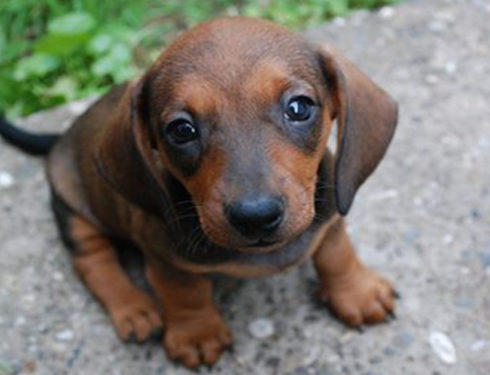 10 Signs Your Dachshund Really Loves You