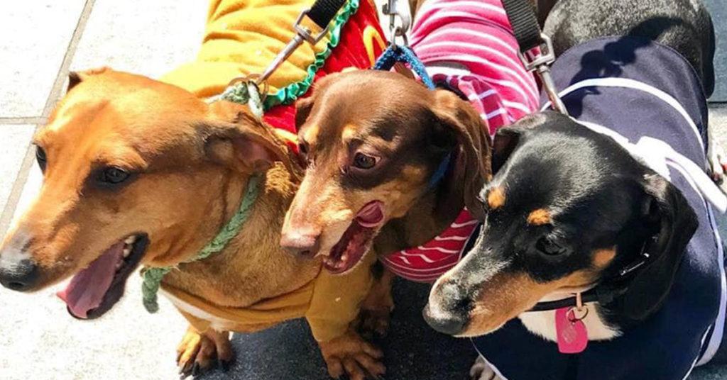Top Dachshund Dog Photos