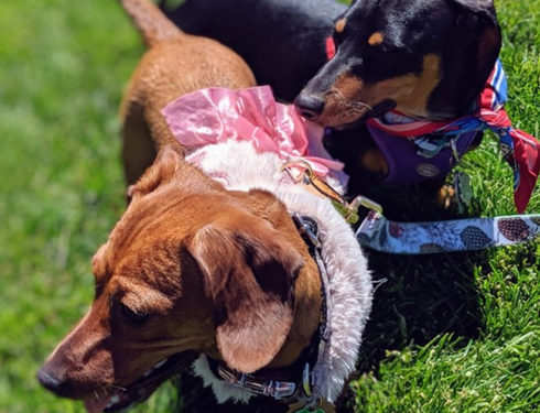 Top Awesome Names For Dachshunds
