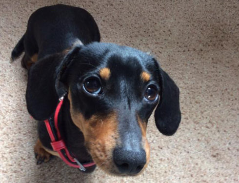 20 Benefits Of Being a Dachshund Owner You Didn't Know
