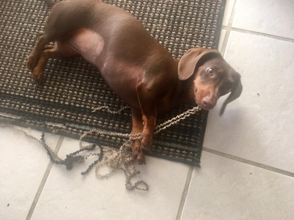 15 Reasons Dachshunds Are The Worst Dogs 5