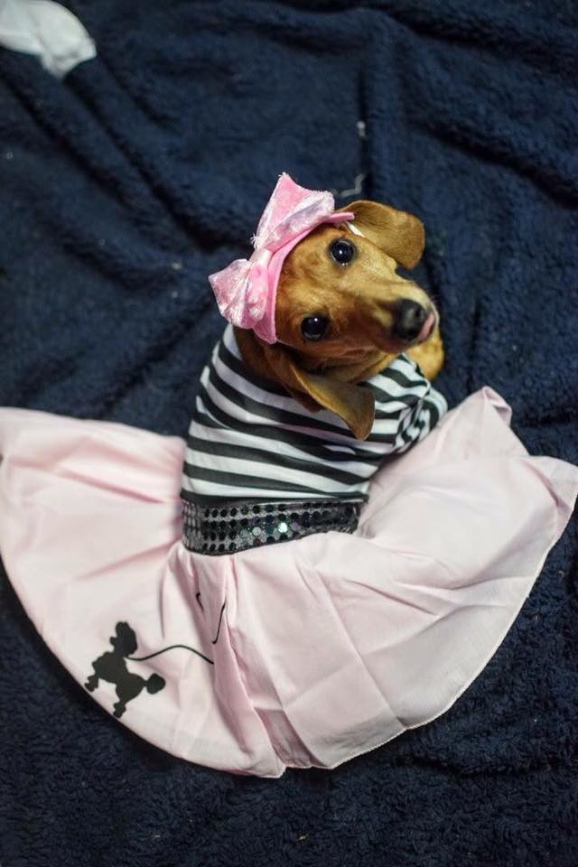 Dachshund Dressing up, then everyone will admire me