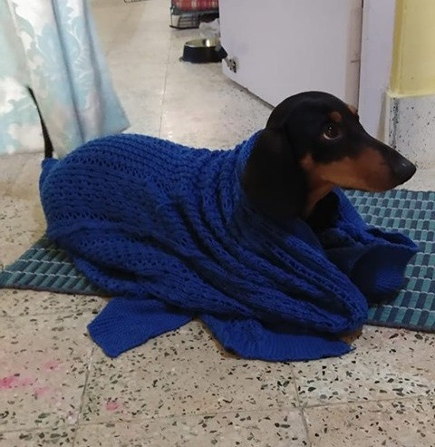 30 Funny Moments Showing That Dachshunds Are The Cutest Dogs 25