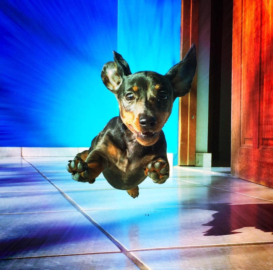 30 Funny Moments Showing That Dachshunds Are The Cutest Dogs 26