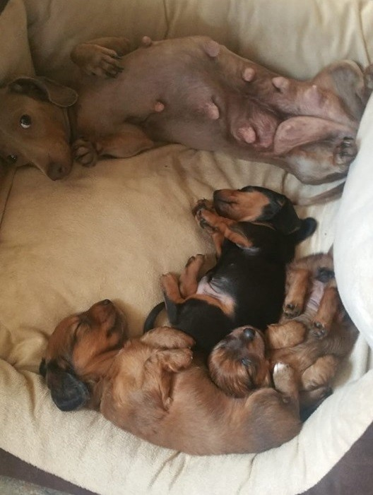 Top Funny And Cute Sleeping Moments Of Dachshunds 15