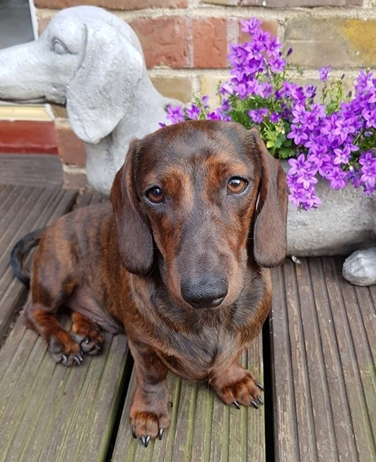 Top Signs Showing That Dachshunds Think They Are Superstars 6