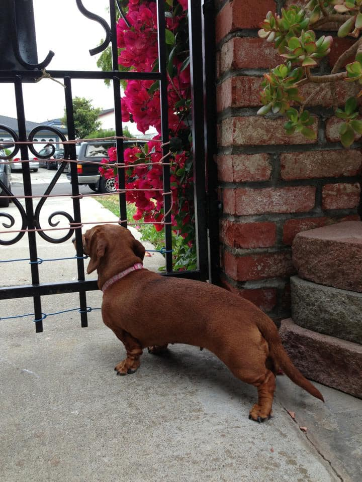 30 Funny Moments Showing That Dachshunds Are The Cutest Dogs 11