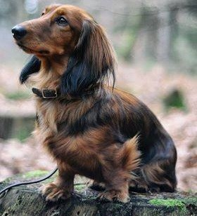 How smart are dachshunds?