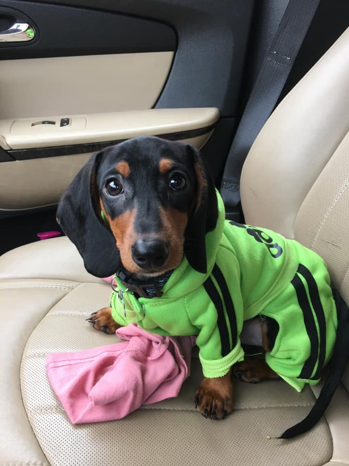 30 Funny Moments Showing That Dachshunds Are The Cutest Dogs 6