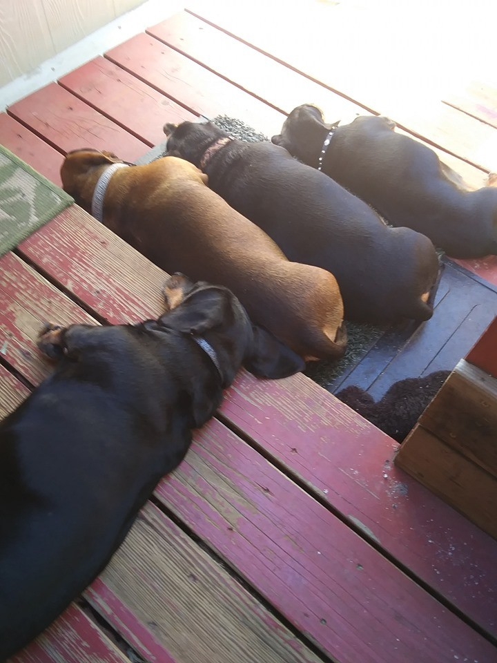 Top Funny And Cute Sleeping Moments Of Dachshunds 14