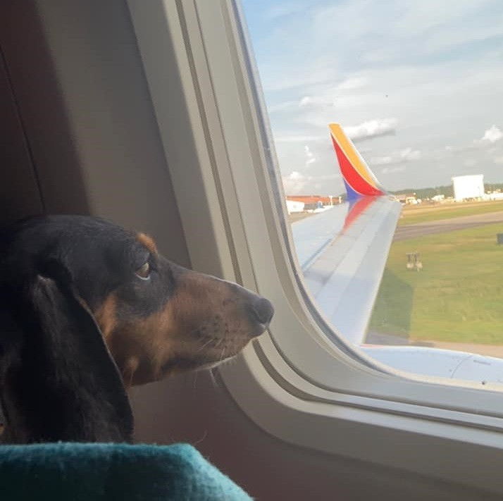 Top Signs Showing That Dachshunds Think They Are Superstars 2