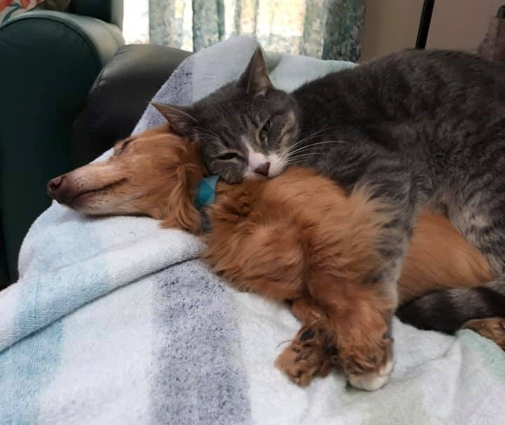 Top Funny And Cute Sleeping Moments Of Dachshunds 9