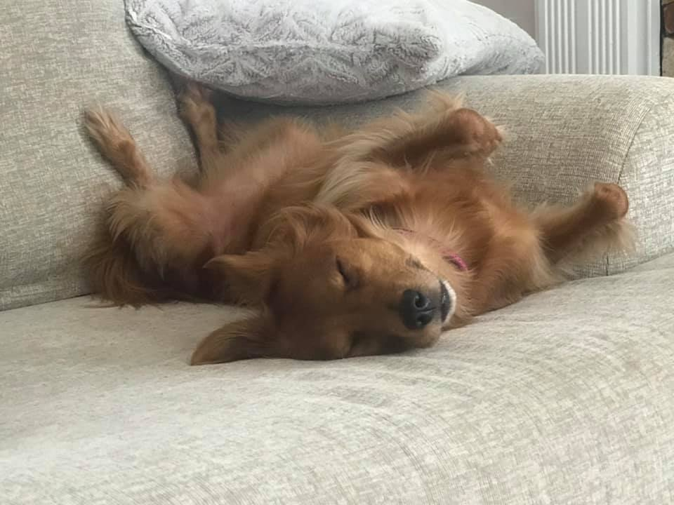 Top Funny And Cute Sleeping Moments Of Dachshunds 10