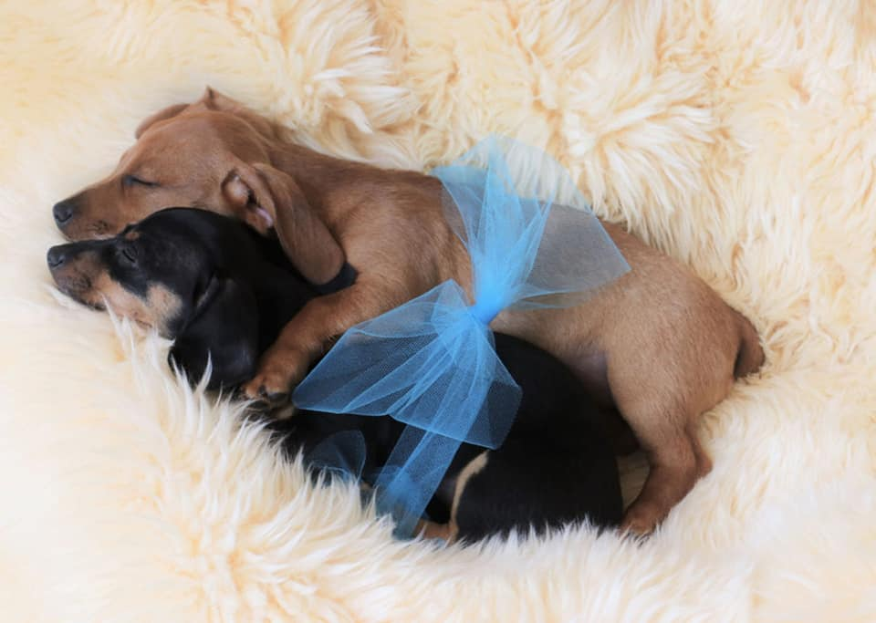 Top Funny And Cute Sleeping Moments Of Dachshunds 11