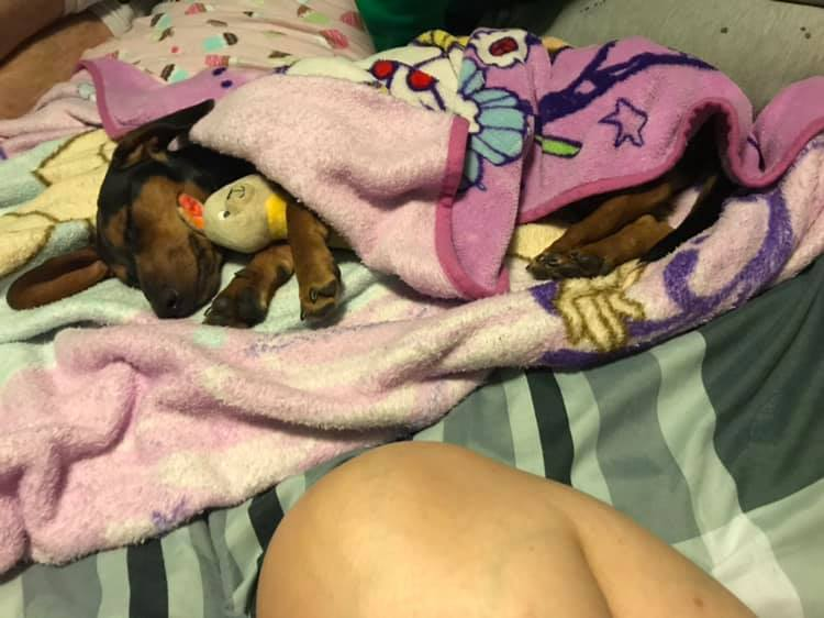 Top Funny And Cute Sleeping Moments Of Dachshunds 8