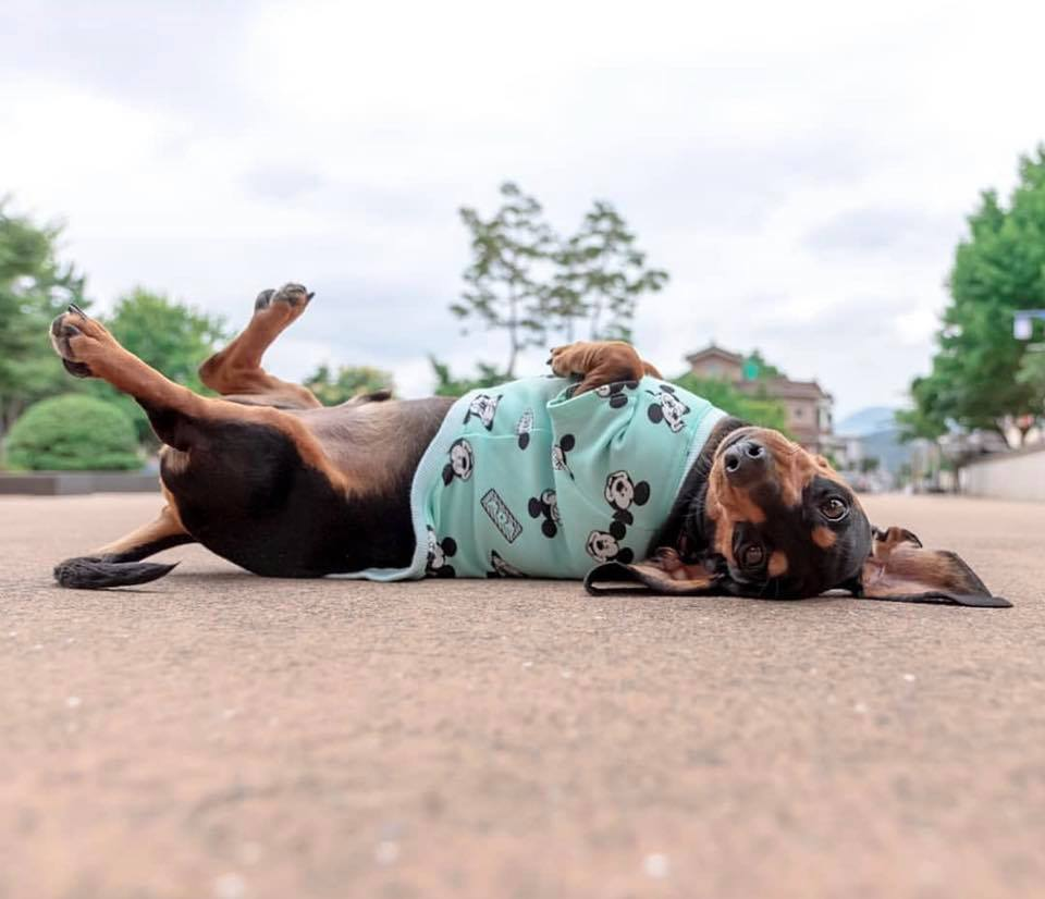 Top Signs Showing That Dachshunds Think They Are Superstars 1