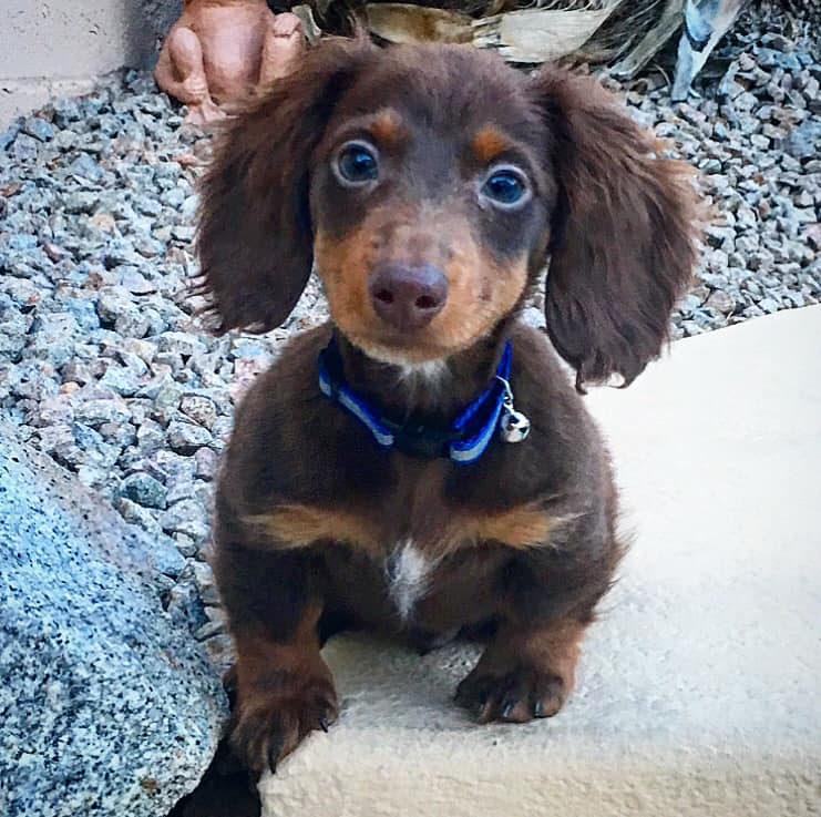 30 Funny Moments Showing That Dachshunds Are The Cutest Dogs 17