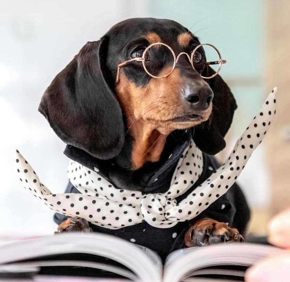 Top Signs Showing That Dachshunds Think They Are Superstars 4