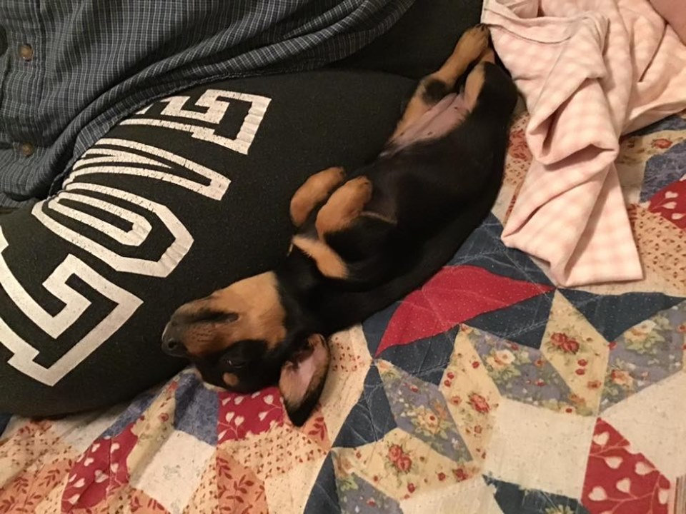 Top Funny And Cute Sleeping Moments Of Dachshunds 4