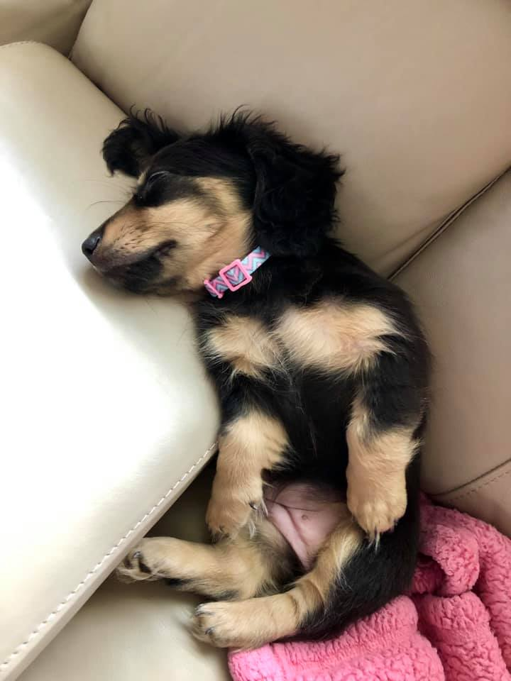 Top Funny And Cute Sleeping Moments Of Dachshunds 1