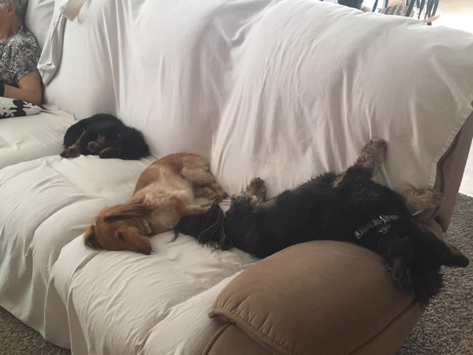 Top Funny And Cute Sleeping Moments Of Dachshunds 6