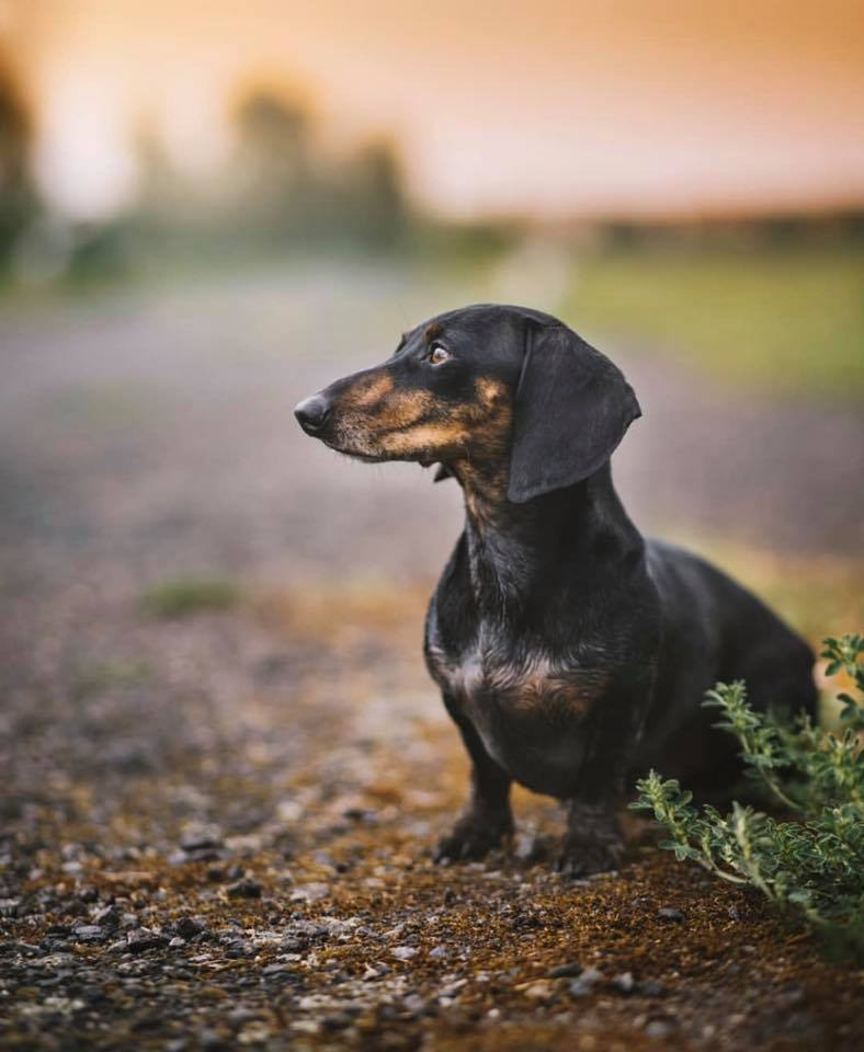 The 10 Health Benefits Of Owning A Dachshund 10