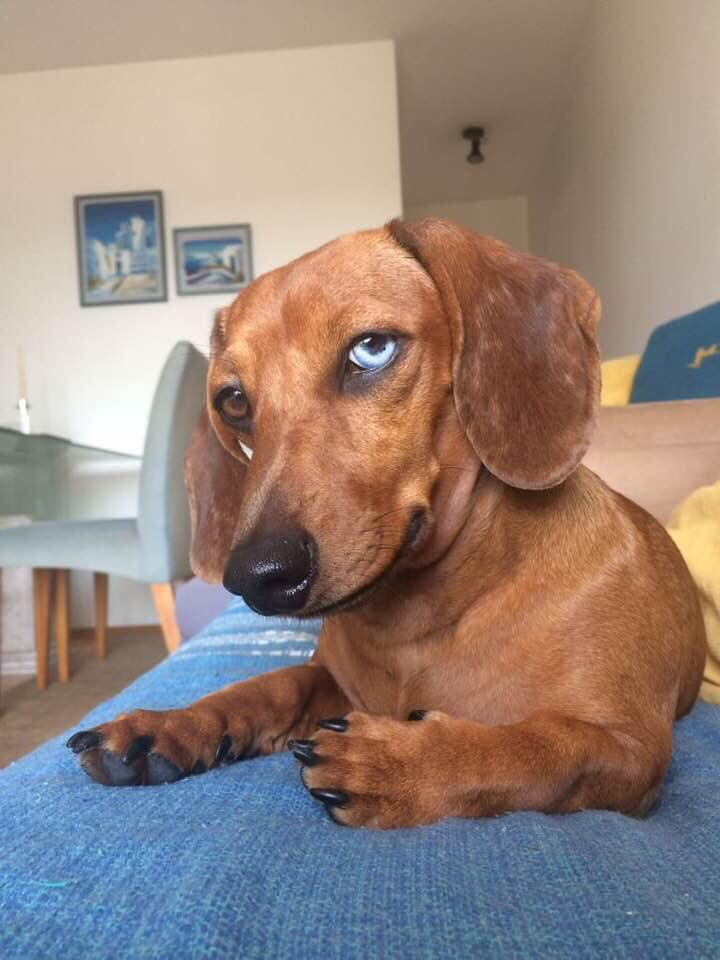 30 Funny Moments Showing That Dachshunds Are The Cutest Dogs 3