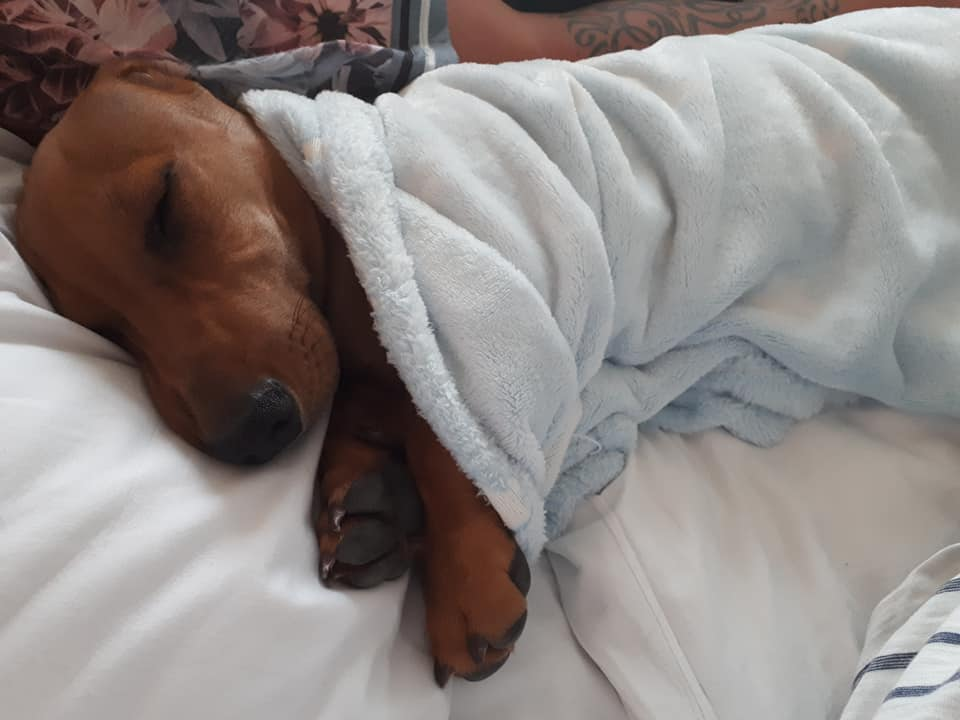 Top Funny And Cute Sleeping Moments Of Dachshunds 2