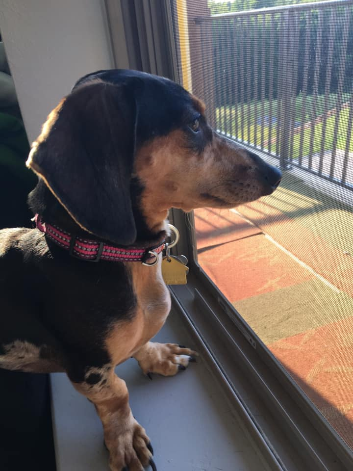Top 5 Precious Features Of Dachshund That Every Owners Must Know 3