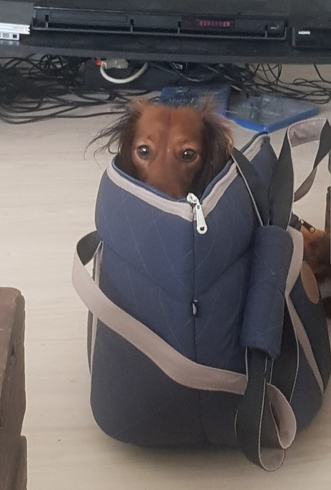 15 Reasons Dachshunds Are The Worst Dogs 7