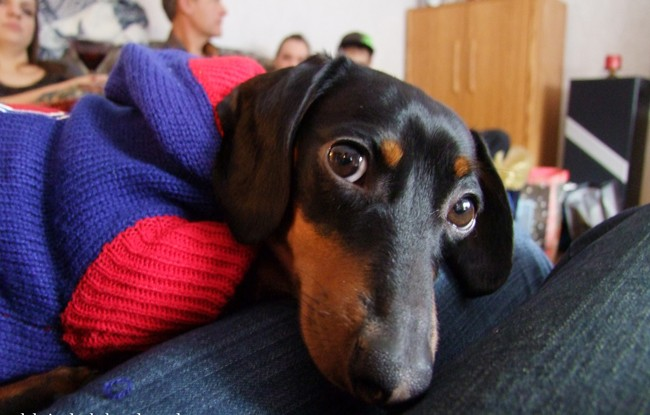 Scientists Found That Dachshund Lovers Love Their Puppies More Than Other Humans 1