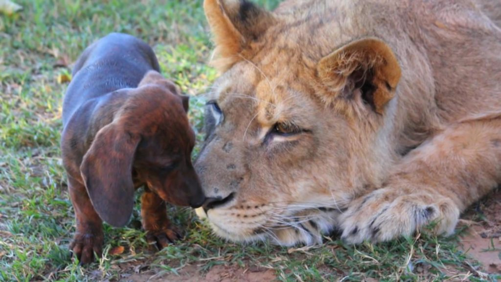 A lion and dachshunds. Picture of video