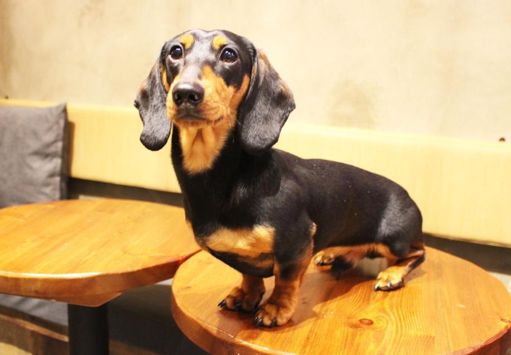 A stubborn dachshund