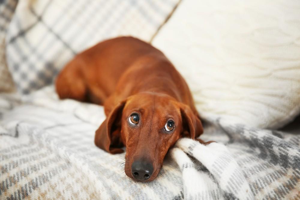 When a dachshund gets sick