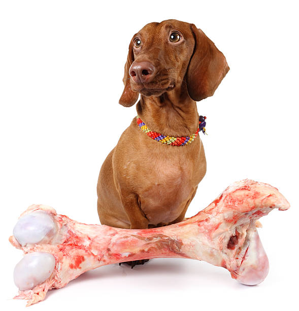 Remember not to let your dachshunds gnaw or eat bones