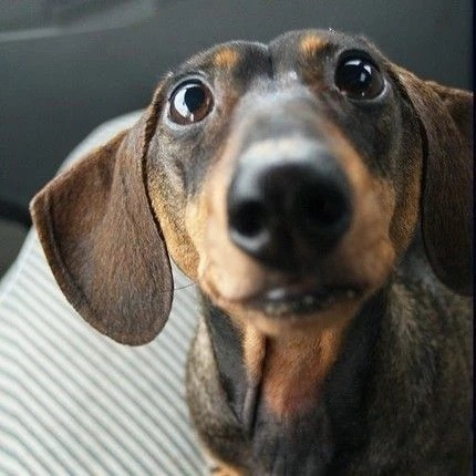 Scientists Found That Dachshund Lovers Love Their Puppies More Than Other Humans 4