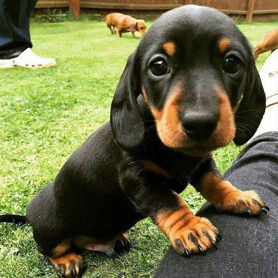 A cute dachshund puppy