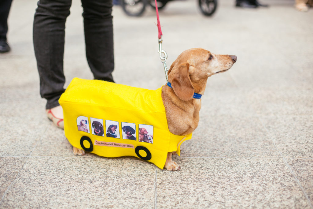 Hello, I am a dachshund not a bus. Please don't be confused