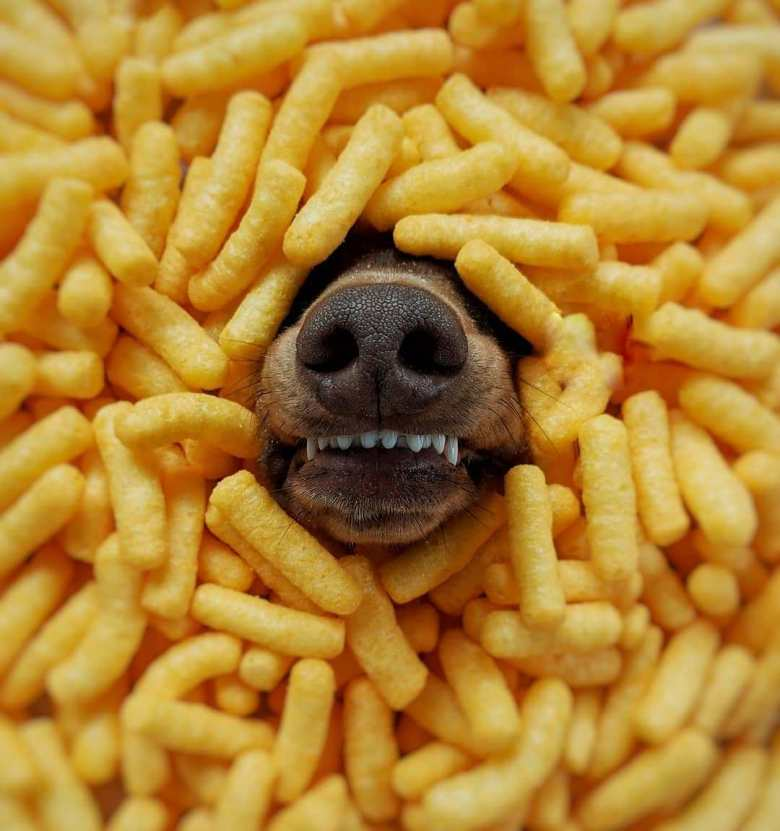Noodles, bread, beans or potatoes make dachshunds get bloated, indigestion and fermentation in the digestive system
