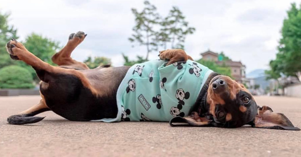 12 Funny Signs Showing That Dachshunds Think They Are Superstars