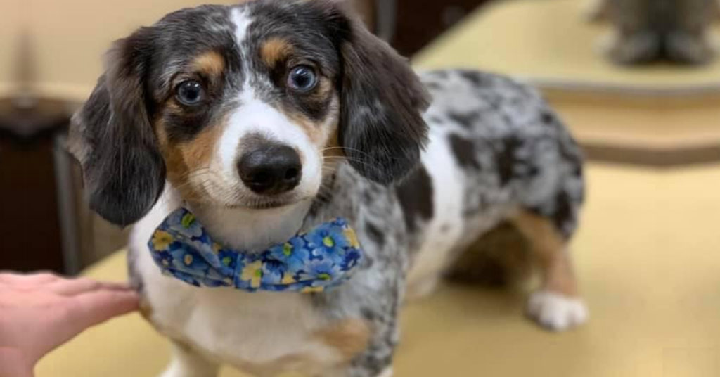 Top 5 Precious Features Of Dachshund That Every Owners Must Know