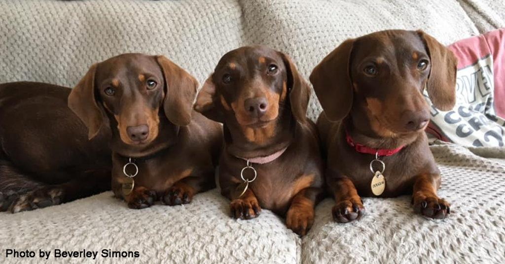 IQ Of Dachshunds And Amazing Facts