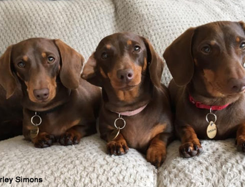 IQ Of Dachshund And Amazing Facts
