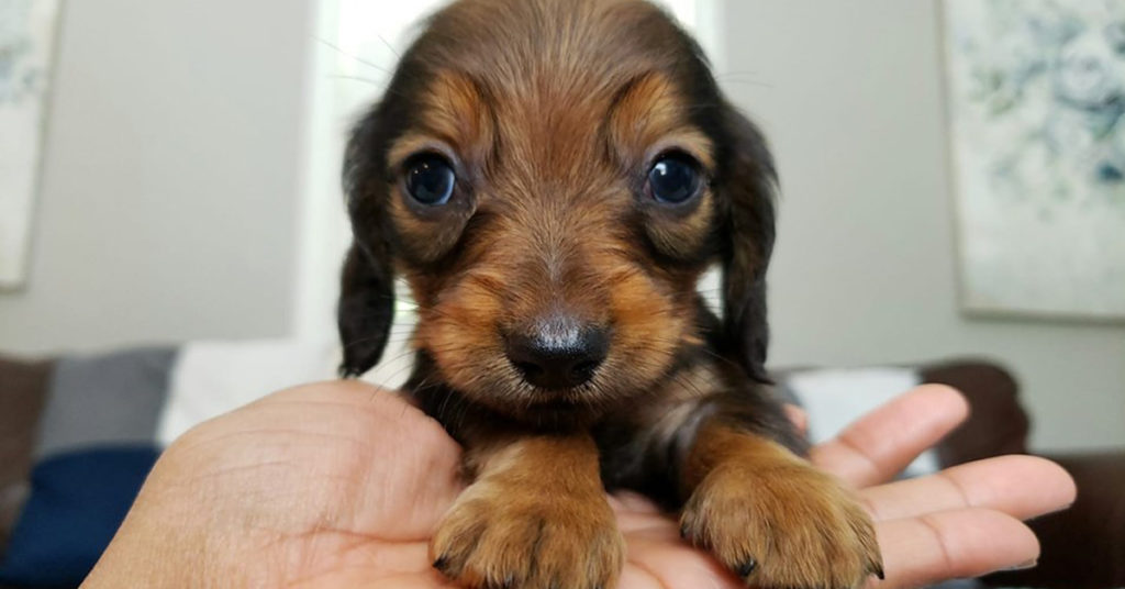 30 Funny Moments Showing That Dachshunds Are The Cutest Dogs
